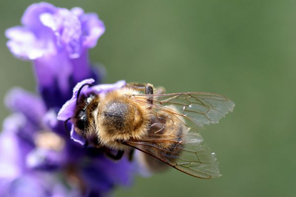 Bee_wings_in_detail